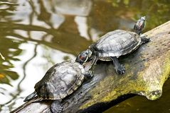 Turtles Royalty Free Stock Images