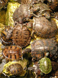 Turtles. A closeup of some turtles stock image