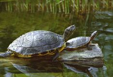 Turtles. A pair of turtles sunning themselves in a pond at the National Zoo, Washington, D.C Royalty Free Stock Images