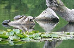 Turtles. Three turtles sitting on a log Stock Photography