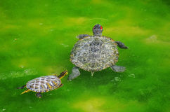 Turtles. Mother water turtle and son swimming in the marsh Stock Photo