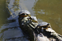Turtles. Three turtles on a tree trunk immersed in water Royalty Free Stock Images