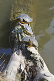 Turtles. Three turtles on a tree trunk immersed in water Stock Photo