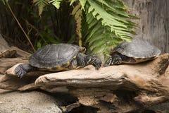 Free Turtles Stock Images - 29883254