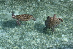 Turtles. Swimming in the sea Stock Photography