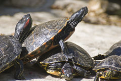 Turtles. Painted turtles captured on large stone and in a group stock photography
