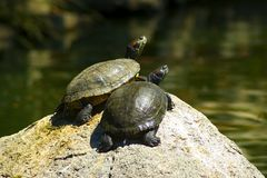 Turtles. Sunbathing on a rock stock image