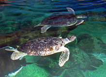 Turtles. 2 turtles swimming in a tank in an aquarium Royalty Free Stock Images