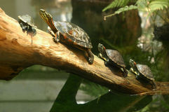 Turtles. Family of terrapin turtles in their natural habitat Stock Photography