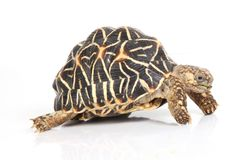Turtles. A studio photograph of a turtle Royalty Free Stock Image
