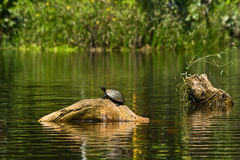 Turtles in amazon rainforest, Yasuni National Park Royalty Free Stock Image