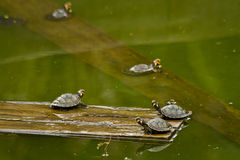 Turtles in amazon rainforest, Yasuni National Park Stock Image