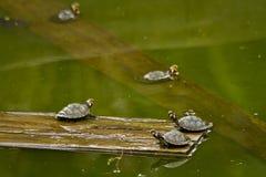 Turtles in amazon rainforest, Yasuni National Park Stock Image