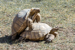 Turtles sex. Couple Turtles sex in zoo stock image