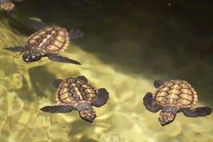Turtles. Baby turtles, photographed in Sri Lanka Stock Image