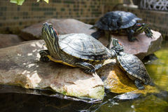 Turtles bask in the sun in the aquarium. Royalty Free Stock Photos