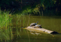 Turtles basking on a log Royalty Free Stock Photography