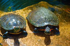 Turtles. Basking in the sun stock images