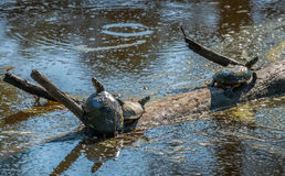 Turtles basking in the sun in Chesapeake Bay marsh Royalty Free Stock Images