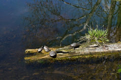Turtles basking in the sun in the river Royalty Free Stock Images