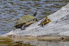 Turtles Basking in the Sun - Sanibel Island, Florida. Two turtles bask in the sun on a log in a pond on Sanibel Island, Florida stock image