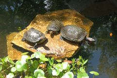 3 Turtles Basking in the sun. 3 turtles sitting on rock stock images