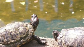 Turtles are basking in the sun. Two turtles bask in the sun near the water stock footage