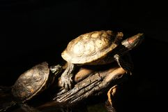 Turtles with black background Stock Photo