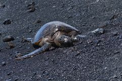 Turtles On A Black Sand Beach In Hawaii.  Stock Photos