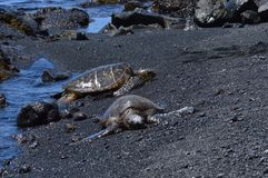 Turtles On A Black Sand Beach In Hawaii.  Royalty Free Stock Photos