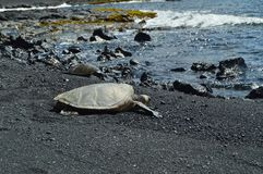 Turtles On A Black Sand Beach In Hawaii. Big Island, USA. EEUU Royalty Free Stock Image