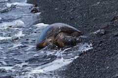 Turtles On A Black Sand Beach In Hawaii Wet By The Sea. Big Island, USA, EEUU Stock Images