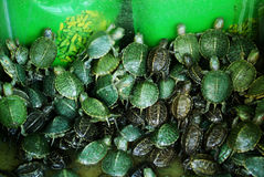 Turtles in a box Royalty Free Stock Photo