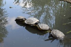 Turtles on a branch / Tortues sur une branche