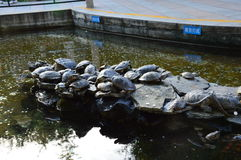 Turtles in China. Fabulous Northern China park with turtles Royalty Free Stock Photography
