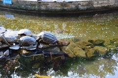 Turtles in China. Fabulous Northern China park with turtles Stock Image