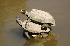 Turtles (clemmys guttata) mating Stock Image