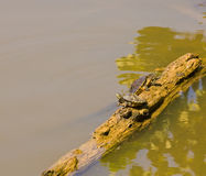 Turtles Climbing on Log Royalty Free Stock Photo