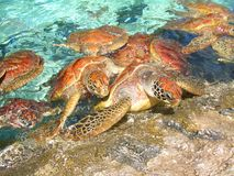 Turtles climbing out of turquoise water onto roc Stock Images