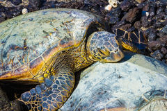 Turtles close-up Stock Photography
