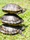 Turtles. Royalty Free Stock Photo