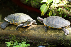 Turtles couple. Two turtles sitting on a log Stock Images