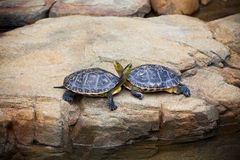 Turtles couple on a stone Royalty Free Stock Image