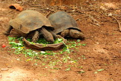 Turtles crawling in the nature Royalty Free Stock Photos
