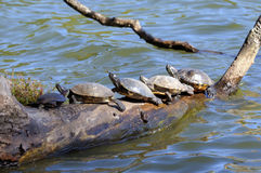 Turtles crowded on a log. Suwanee River Turtles crowded on a log in New York Prospect Park Royalty Free Stock Images