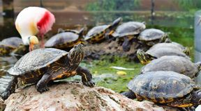 Turtle with a Flamingo in the back. Turtles are diapsids of the order Testudines or Chelonii[3] characterized by a special bony or cartilaginous shell developed royalty free stock images