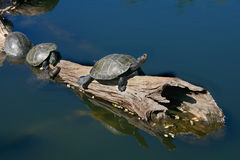 Turtles on Driftwood Stock Photo
