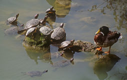Turtles and duck. Face to face on the lake Stock Photo