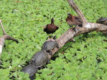 Turtles and ducks royalty free stock photo