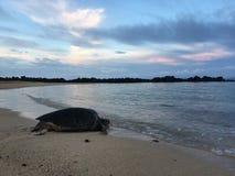 Turtles During Sunrise At Poipu Beach On Kauai Island In Hawaii. Royalty Free Stock Photography